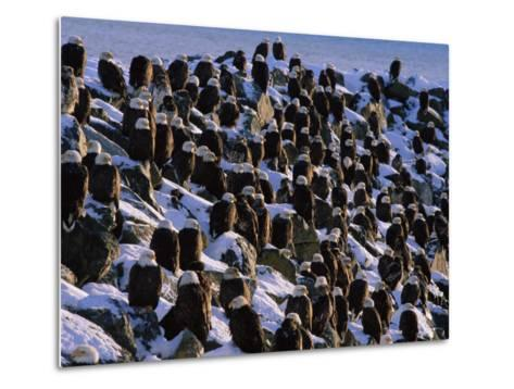 A Group of Bald Eagles Bask on a Breakwater in Homer-Norbert Rosing-Metal Print