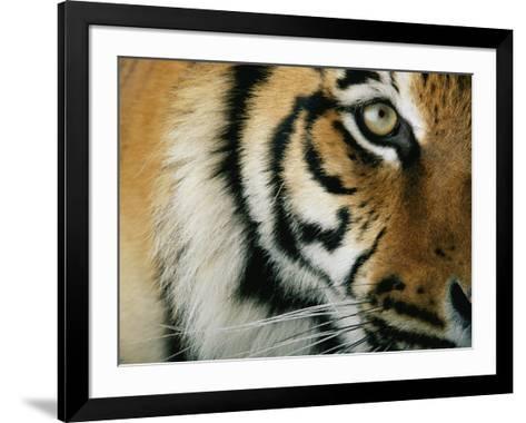 Close View of an Indian Tiger-Michael Nichols-Framed Art Print