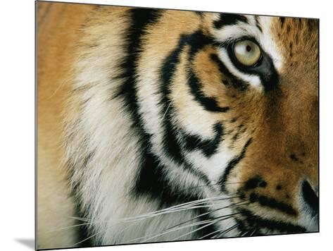 Close View of an Indian Tiger-Michael Nichols-Mounted Photographic Print