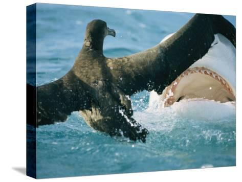 A Tiger Shark Feeds on a Young Albatross-Bill Curtsinger-Stretched Canvas Print