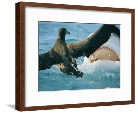 A Tiger Shark Feeds on a Young Albatross-Bill Curtsinger-Framed Art Print