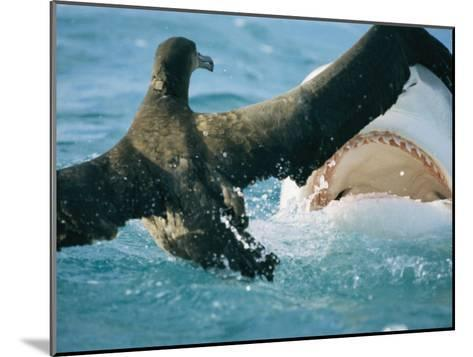 A Tiger Shark Feeds on a Young Albatross-Bill Curtsinger-Mounted Photographic Print