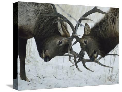 Two Bull Elk Lock Antlers in Confrontation-Tom Murphy-Stretched Canvas Print