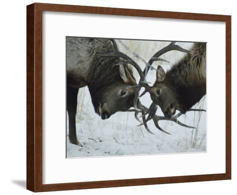 Two Bull Elk Lock Antlers in Confrontation-Tom Murphy-Framed Art Print