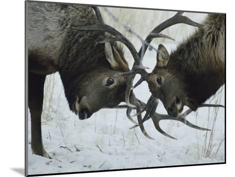 Two Bull Elk Lock Antlers in Confrontation-Tom Murphy-Mounted Photographic Print