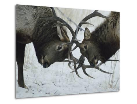 Two Bull Elk Lock Antlers in Confrontation-Tom Murphy-Metal Print