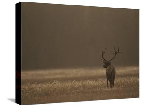 Elk or Wapiti Bull at Sunset, Yellowstone National Park, Wyoming-Raymond Gehman-Stretched Canvas Print