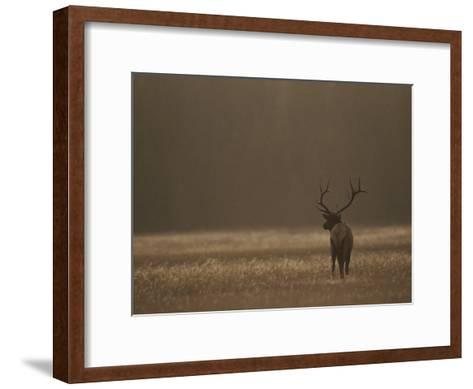 Elk or Wapiti Bull at Sunset, Yellowstone National Park, Wyoming-Raymond Gehman-Framed Art Print