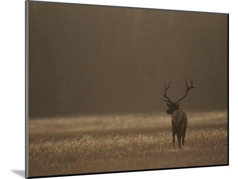 Elk or Wapiti Bull at Sunset, Yellowstone National Park, Wyoming-Raymond Gehman-Mounted Photographic Print