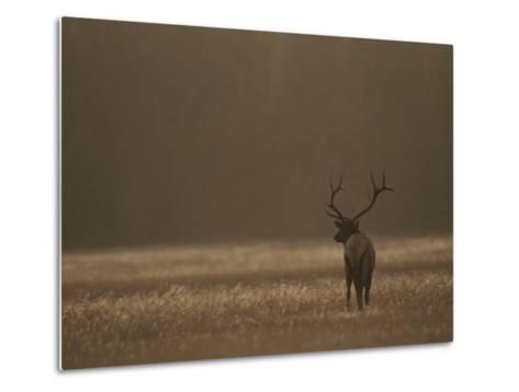 Elk or Wapiti Bull at Sunset, Yellowstone National Park, Wyoming-Raymond Gehman-Metal Print