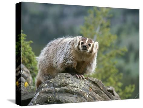 American Badger on Rock-Norbert Rosing-Stretched Canvas Print