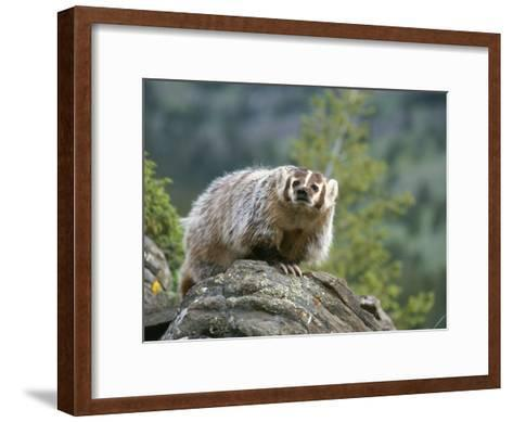 American Badger on Rock-Norbert Rosing-Framed Art Print