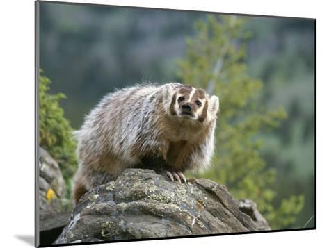 American Badger on Rock-Norbert Rosing-Mounted Photographic Print