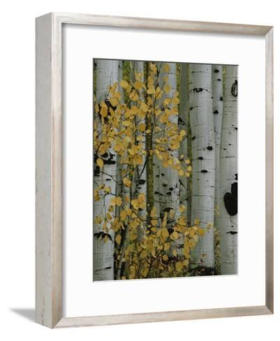 Autumn Foliage and Tree Trunks of Quaking Aspen Trees in the Crested Butte Area of Colorado-Marc Moritsch-Framed Art Print