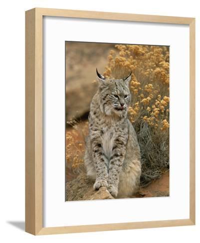 A Bobcat-Norbert Rosing-Framed Art Print
