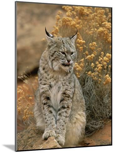 A Bobcat-Norbert Rosing-Mounted Photographic Print