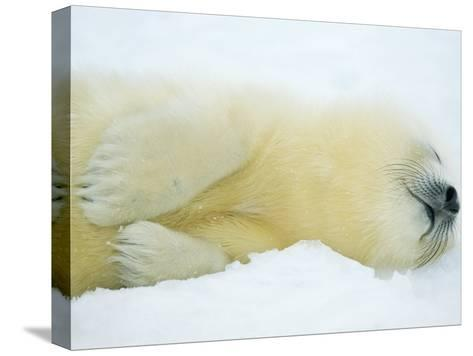 Close View of Sleeping Two-Day-Old Harp Seal Pup-Norbert Rosing-Stretched Canvas Print