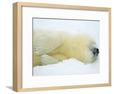 Close View of Sleeping Two-Day-Old Harp Seal Pup-Norbert Rosing-Framed Art Print