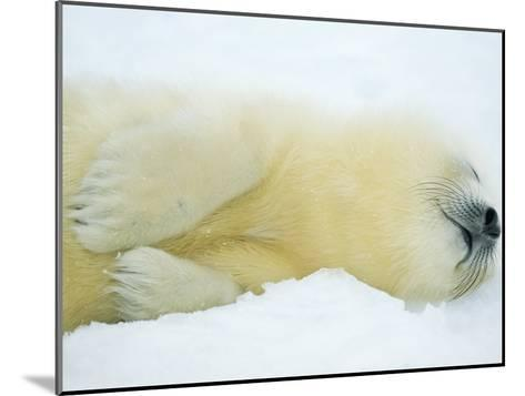 Close View of Sleeping Two-Day-Old Harp Seal Pup-Norbert Rosing-Mounted Photographic Print