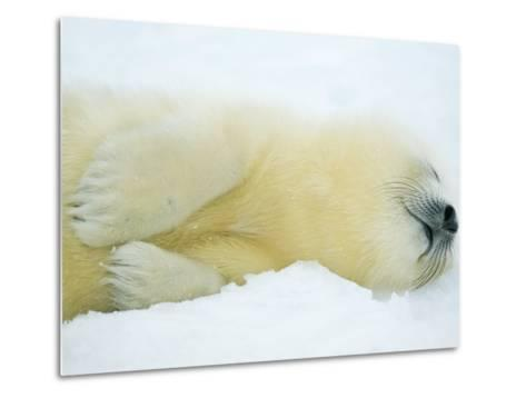 Close View of Sleeping Two-Day-Old Harp Seal Pup-Norbert Rosing-Metal Print