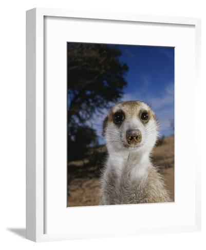 A Close View of an Adult Meerkat (Suricata Suricatta)-Mattias Klum-Framed Art Print