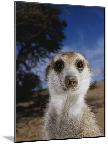A Close View of an Adult Meerkat (Suricata Suricatta)-Mattias Klum-Mounted Photographic Print