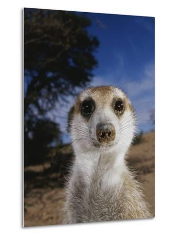 A Close View of an Adult Meerkat (Suricata Suricatta)-Mattias Klum-Metal Print