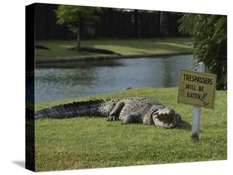 An American Alligator on a Lawn Next to a Humorous Warning Sign-Raymond Gehman-Stretched Canvas Print