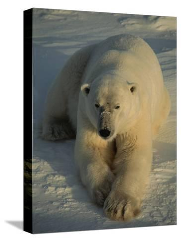 A Close View of a Polar Bear Resting on Ice-Tom Murphy-Stretched Canvas Print