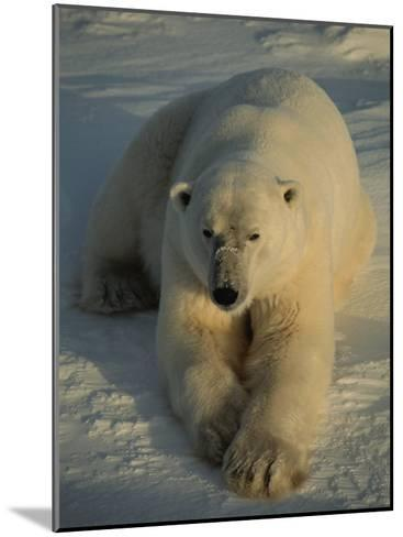 A Close View of a Polar Bear Resting on Ice-Tom Murphy-Mounted Photographic Print