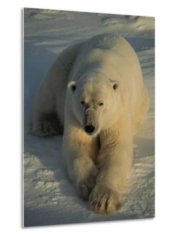 A Close View of a Polar Bear Resting on Ice-Tom Murphy-Metal Print