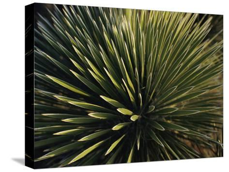 A Lechuguilla Plant in the Desert-Stephen Alvarez-Stretched Canvas Print