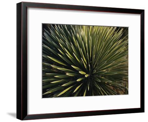 A Lechuguilla Plant in the Desert-Stephen Alvarez-Framed Art Print