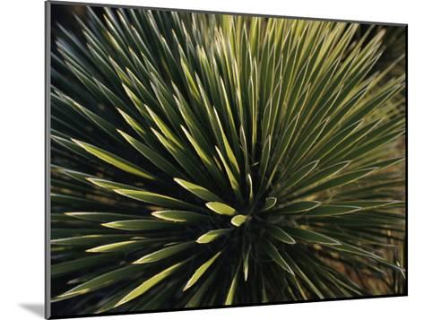 A Lechuguilla Plant in the Desert-Stephen Alvarez-Mounted Photographic Print