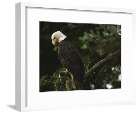A Mature Bald Eagle is Perched Atop a Tree Branch-Raymond Gehman-Framed Art Print