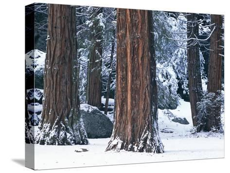 Redwood Trees Dusted with Snow in Yosemite National Park-Marc Moritsch-Stretched Canvas Print