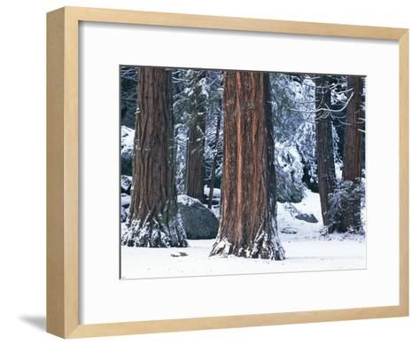 Redwood Trees Dusted with Snow in Yosemite National Park-Marc Moritsch-Framed Art Print