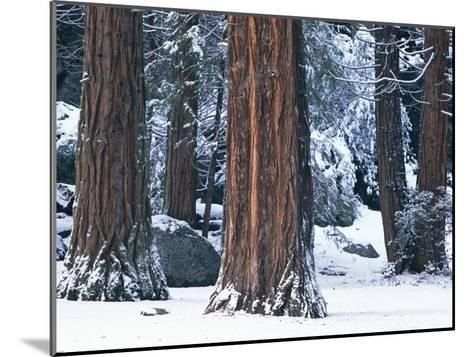 Redwood Trees Dusted with Snow in Yosemite National Park-Marc Moritsch-Mounted Photographic Print