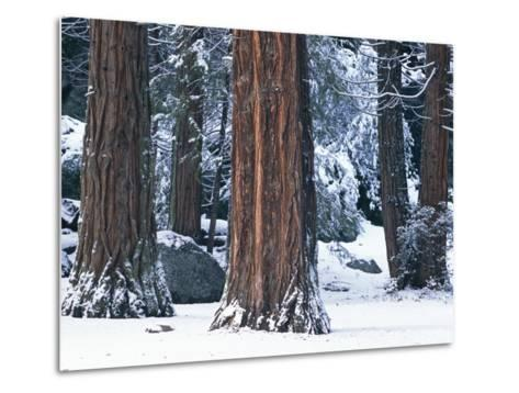 Redwood Trees Dusted with Snow in Yosemite National Park-Marc Moritsch-Metal Print