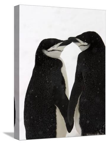 A Pair of Chinstrap Penguins in a Courtship Cuddle-Ralph Lee Hopkins-Stretched Canvas Print