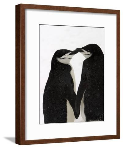A Pair of Chinstrap Penguins in a Courtship Cuddle-Ralph Lee Hopkins-Framed Art Print