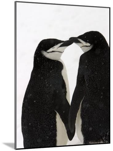 A Pair of Chinstrap Penguins in a Courtship Cuddle-Ralph Lee Hopkins-Mounted Photographic Print
