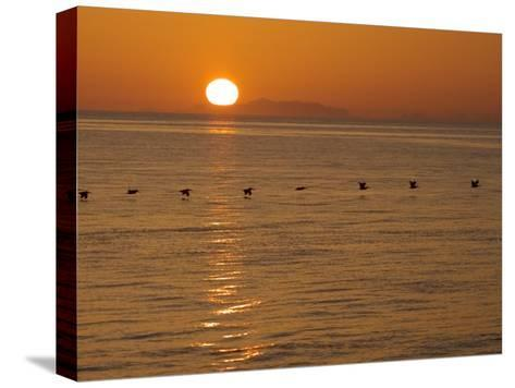 A Flock of Brown Pelicans Flying Low over the Water at Sunset-Ralph Lee Hopkins-Stretched Canvas Print