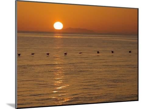 A Flock of Brown Pelicans Flying Low over the Water at Sunset-Ralph Lee Hopkins-Mounted Photographic Print