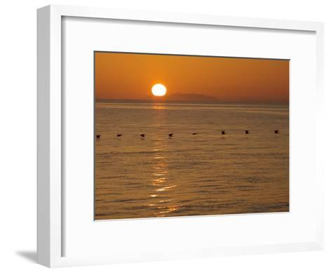 A Flock of Brown Pelicans Flying Low over the Water at Sunset-Ralph Lee Hopkins-Framed Art Print