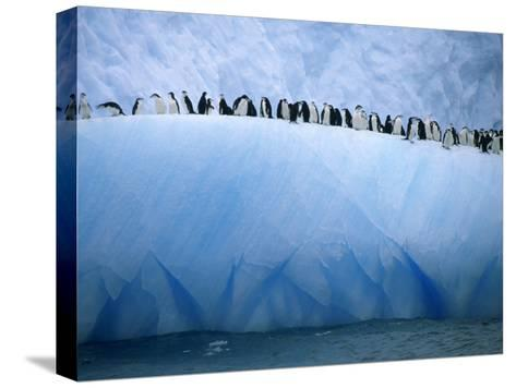 Chinstrap Penguins Lined up Along a Blue Iceberg-Ralph Lee Hopkins-Stretched Canvas Print