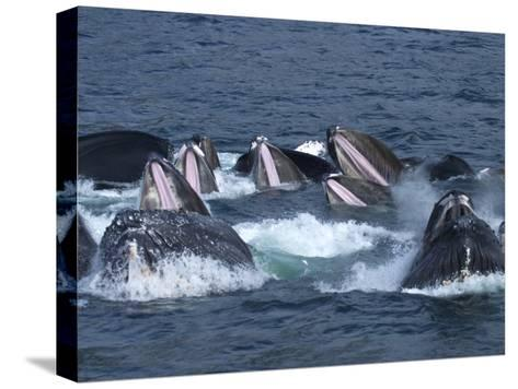 A Group of Humpback Whales Bubble Net Hunting and Feeding Together-Ralph Lee Hopkins-Stretched Canvas Print
