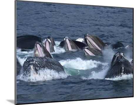 A Group of Humpback Whales Bubble Net Hunting and Feeding Together-Ralph Lee Hopkins-Mounted Photographic Print