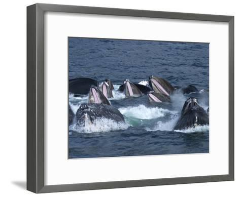 A Group of Humpback Whales Bubble Net Hunting and Feeding Together-Ralph Lee Hopkins-Framed Art Print