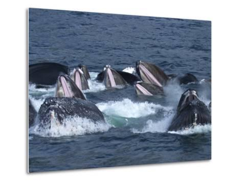 A Group of Humpback Whales Bubble Net Hunting and Feeding Together-Ralph Lee Hopkins-Metal Print